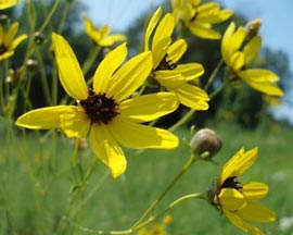 Tall Coreopsis 2